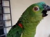 Музыкальный попугай поет арию Царицы ночи